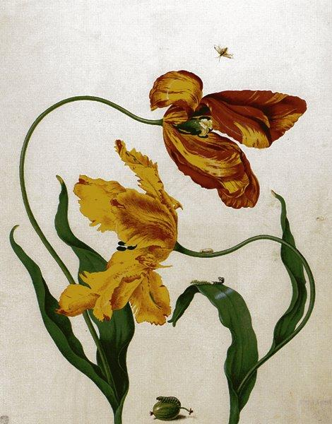 Мериан. Рисунок тюльпанов и личинки крыжовникового пилильщика. 1705
