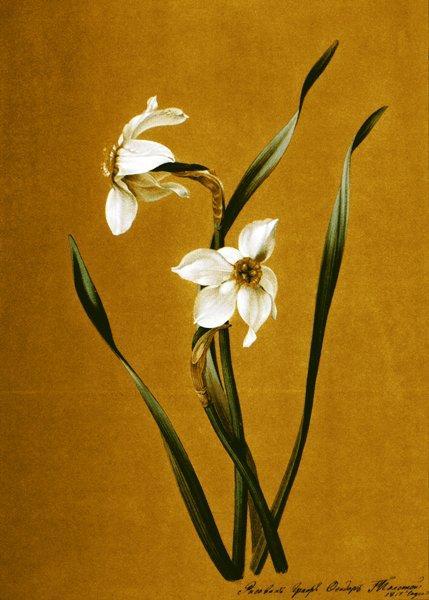 Ф.П.Толстой. Нарциссы. Натюрморт. 1817